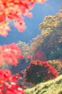 紅葉のモミジ木立の写真素材 [FYI01524169]