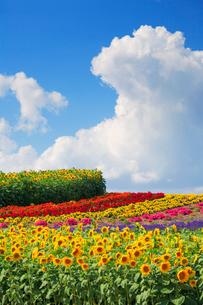 ヒマワリとラベンダーの花畑の写真素材 [FYI01524184]