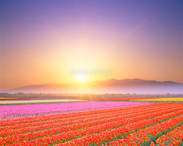 チューリップ畑と五頭連峰の写真素材 [FYI01524189]