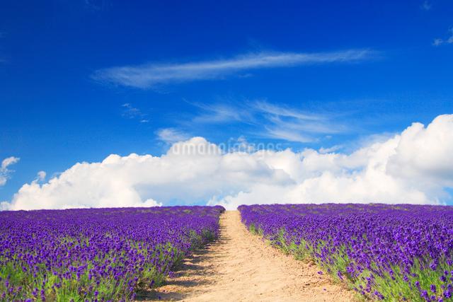 ラベンダー畑と遊歩道の写真素材 [FYI01524205]