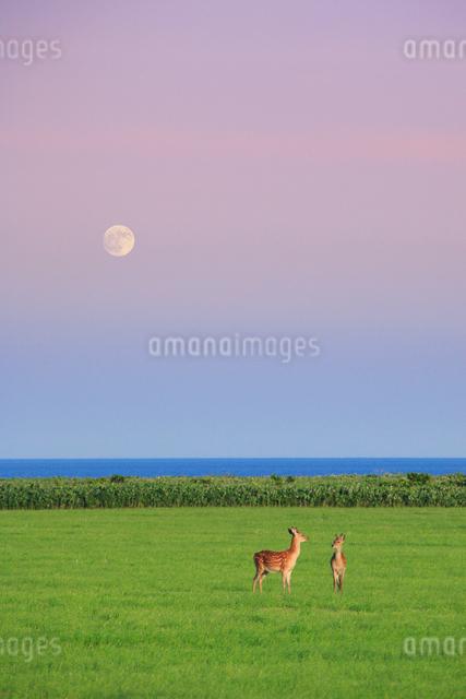 エゾシカと朝の月の写真素材 [FYI01524253]