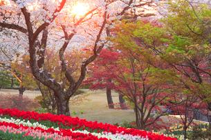 チューリップ畑と桜の夕景の写真素材 [FYI01524273]