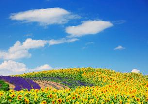 ヒマワリとラベンダーの花畑の写真素材 [FYI01524278]