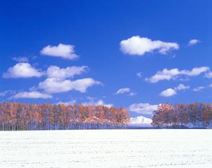 新雪と紅葉の白樺並木と旭岳の写真素材 [FYI01524285]