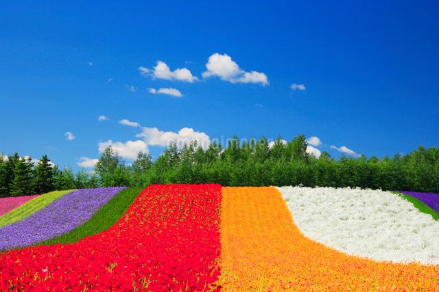 ポピーとカリフォルニアポピーの花畑の写真素材 [FYI01524286]