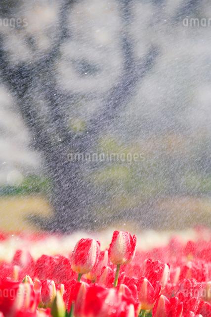 チューリップ畑と雨の写真素材 [FYI01524330]