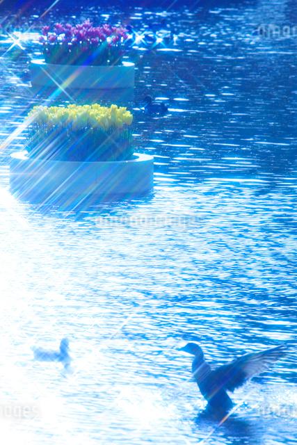 チューリップ花壇と水面と羽ばたく鴨の写真素材 [FYI01524337]