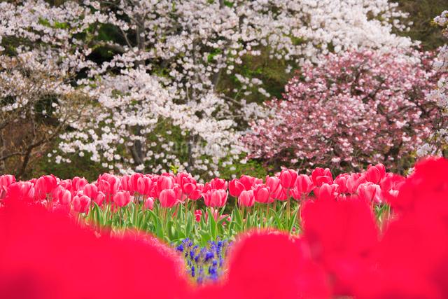 桜とチューリップ畑の写真素材 [FYI01524353]