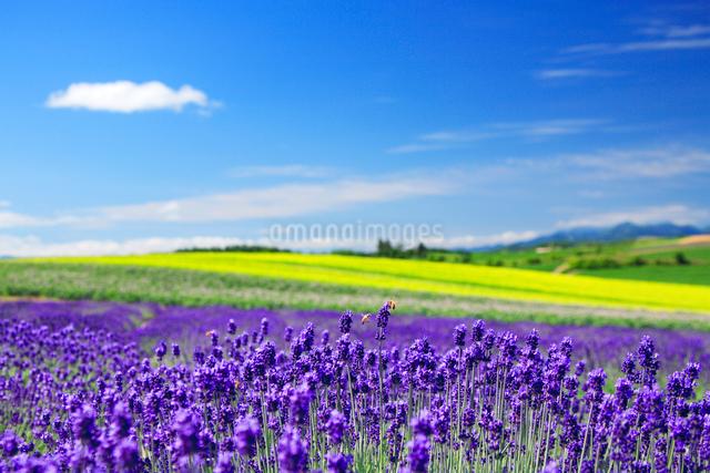 ラベンダー畑とミツバチの写真素材 [FYI01524370]