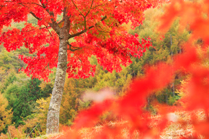 紅葉のモミジ木立の写真素材 [FYI01524373]