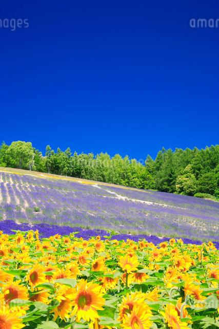 ヒマワリとラベンダーの花畑の写真素材 [FYI01524387]
