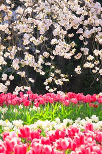 桜とチューリップ畑の写真素材 [FYI01524416]