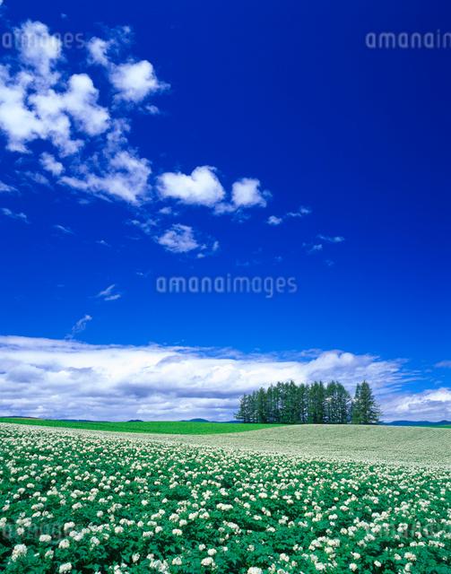 花咲くジャガイモ畑と木立の写真素材 [FYI01524447]