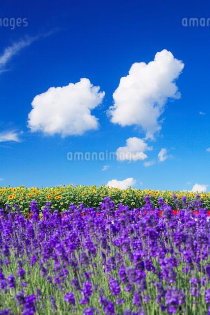 ヒマワリとラベンダー畑とわた雲の写真素材 [FYI01524483]