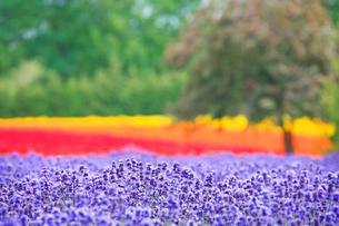 ラベンダーの花畑の写真素材 [FYI01524484]