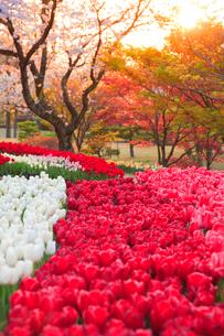 チューリップ畑と桜の夕景の写真素材 [FYI01524509]