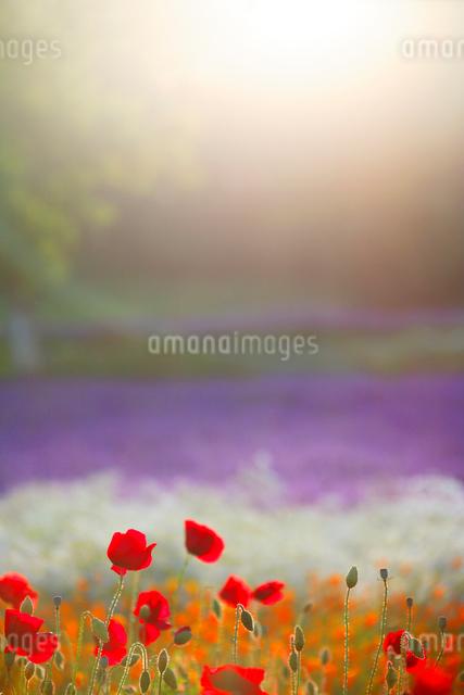 ポピーとラベンダーの花畑と光芒の写真素材 [FYI01524512]