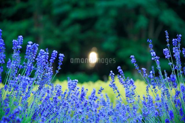 ラベンダーと木もれ日の写真素材 [FYI01524516]