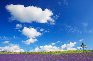 ラベンダー畑とわた雲の写真素材 [FYI01524612]
