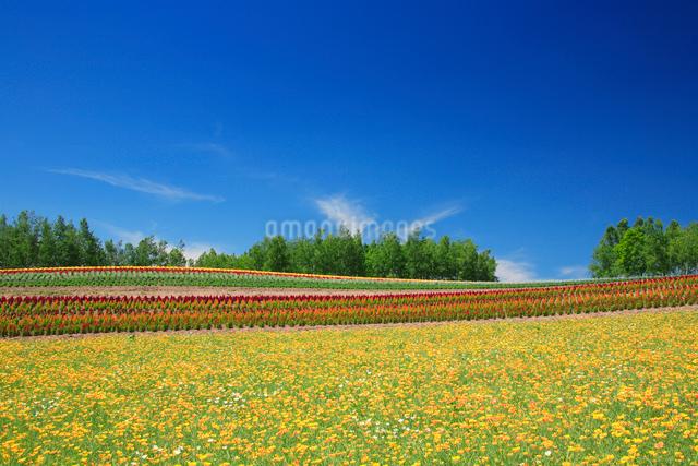 カリフォルニアポピーの花畑の写真素材 [FYI01524613]