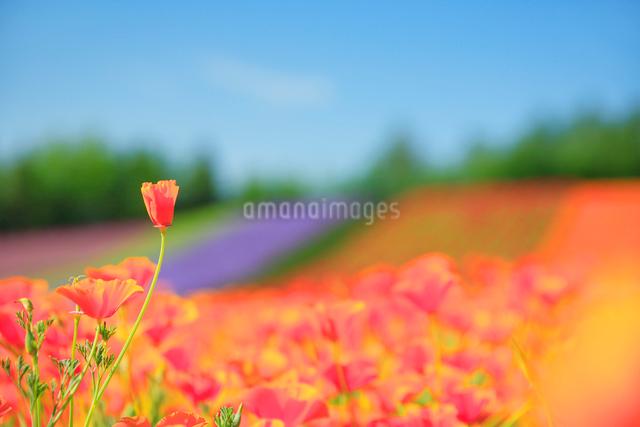 カリフォルニアポピーの花畑の写真素材 [FYI01524619]