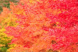 紅葉のモミジ林の写真素材 [FYI01524622]