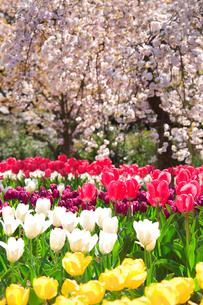 桜とチューリップ畑の写真素材 [FYI01524637]