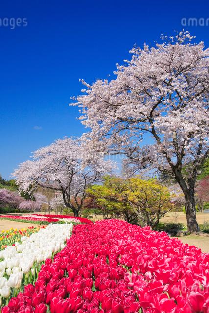 桜とチューリップ畑の写真素材 [FYI01524670]