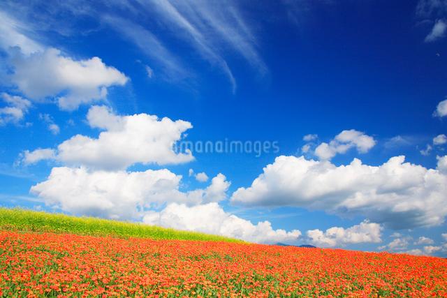 キンセンカと菜の花畑の写真素材 [FYI01524702]
