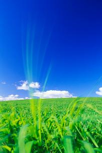 風に揺れる牧草の写真素材 [FYI01524734]