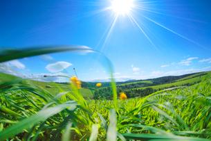 牧草と太陽とタンポポの写真素材 [FYI01524778]