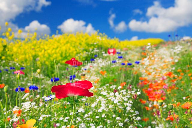 ポピーと菜の花畑の写真素材 [FYI01524782]