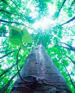 雨に濡れる新緑のブナ若葉と木もれ日の写真素材 [FYI01524789]