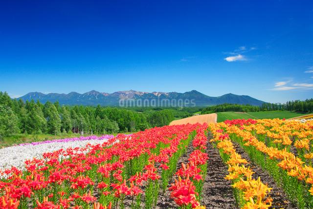 デイリリーの花畑と十勝連峰の写真素材 [FYI01524815]