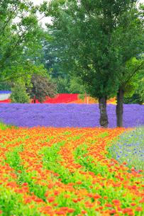 キンセンカとラベンダーの花畑の写真素材 [FYI01524877]