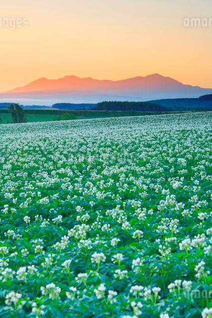ジャガイモ畑と大雪山の写真素材 [FYI01524903]