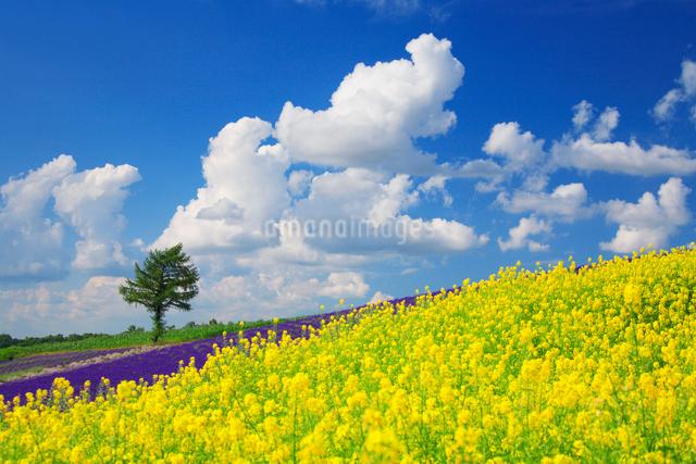 菜の花畑と木立の写真素材 [FYI01524904]