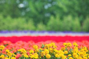 マリーゴールドの花畑の写真素材 [FYI01524925]