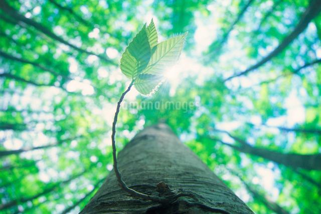 ブナの若葉と木もれ日の写真素材 [FYI01525025]