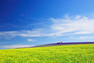 菜の花畑とラベンダー畑の写真素材 [FYI01525043]
