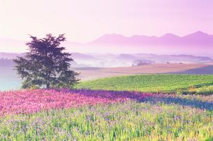 朝のリアトリス畑と木立と十勝連峰の写真素材 [FYI01525090]