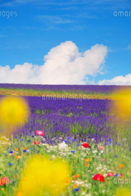 ラベンダーと菜の花畑の写真素材 [FYI01525119]