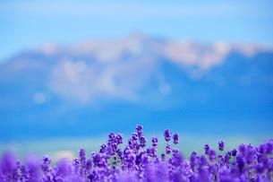 ラベンダーと十勝岳の写真素材 [FYI01525215]