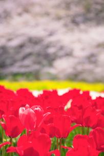 チューリップ畑と桜の写真素材 [FYI01525255]