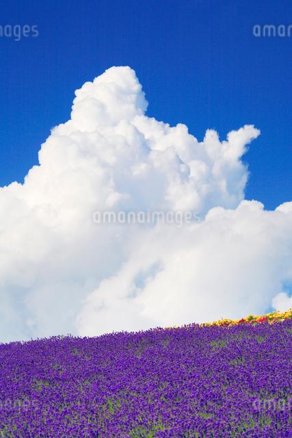 ラベンダー畑と入道雲の写真素材 [FYI01525263]