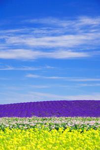 ラベンダーと菜の花とジャガイモ畑の写真素材 [FYI01525421]