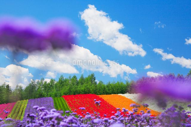 アゲラタムとポピーの花畑の写真素材 [FYI01525448]