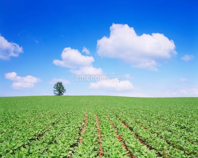 小豆畑とカラマツ木立の写真素材 [FYI01525475]