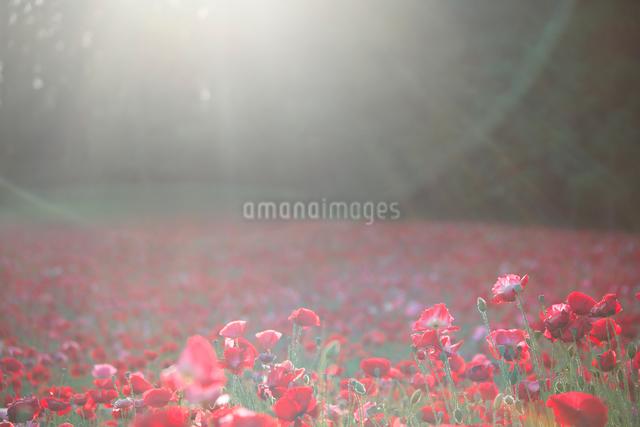 ポピーの花畑と光芒の写真素材 [FYI01525478]