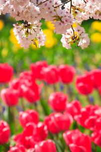 桜とチューリップの写真素材 [FYI01525488]